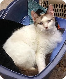 Ragdoll Cat for adoption in Miami, Florida - Bonnie Blue