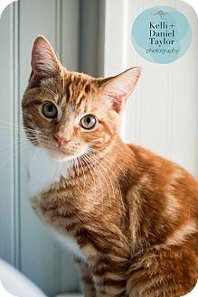 Domestic Shorthair Kitten for adoption in Birmingham, Alabama - Buddy