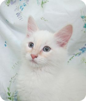 Siamese Kitten for adoption in Pueblo West, Colorado - Bart