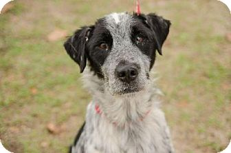 Australian Cattle Dog/English Setter Mix Dog for adoption in Tallahassee, Florida - Banjo- urgent