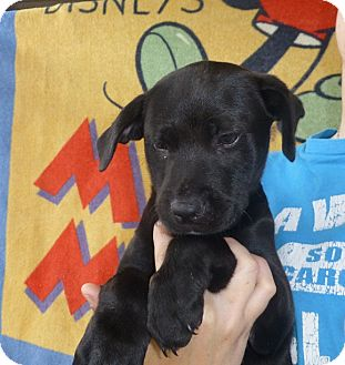 Labrador Retriever/Golden Retriever Mix Puppy for adoption in Oviedo, Florida - Shiloh