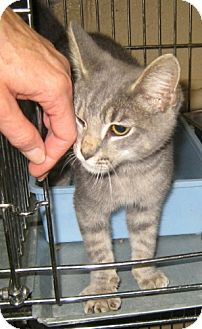 Domestic Shorthair Cat for adoption in Dahlgren, Virginia - (no name)