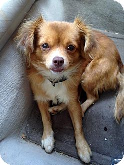Papillon Mix Dog for adoption in Winder, Georgia - Saffie