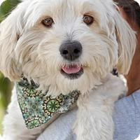 Adopt A Pet :: Ollie - Milan, NY