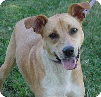 Beagle/Labrador Retriever Mix Dog for adoption in Washington, D.C. - Shiloh