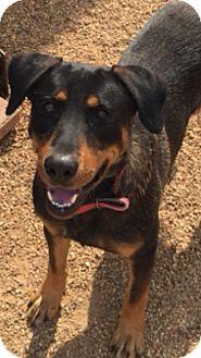 Labrador Retriever/Hound (Unknown Type) Mix Dog for adoption in Cranford, New Jersey - Oliver