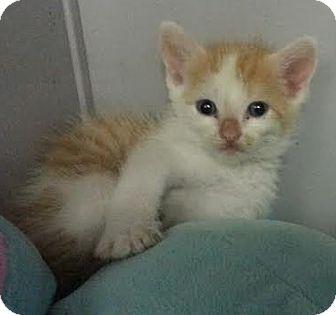 Domestic Shorthair Kitten for adoption in Albertville, Alabama - Oscar