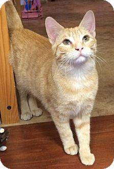 Domestic Shorthair Kitten for adoption in Reston, Virginia - Tofu