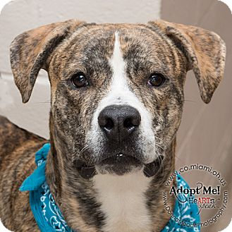 Pit Bull Terrier Mix Dog for adoption in Troy, Ohio - Jackson