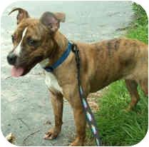 Pit Bull Terrier/Hound (Unknown Type) Mix Dog for adoption in Milton, Massachusetts - Honey