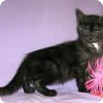 Domestic Shorthair Cat for adoption in Powell, Ohio - Mogli