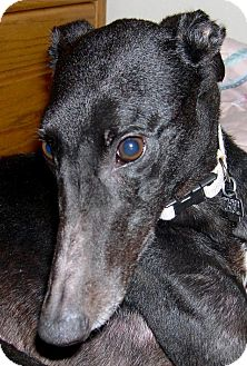 Greyhound Dog for adoption in Ashland City, Tennessee - Fun