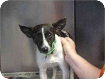Feist/Jack Russell Terrier Mix Dog for adoption in Mason City, Iowa - Rusty