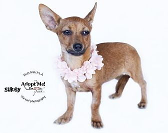 Chihuahua Mix Puppy for adoption in Castaic, California - Sukey