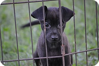 Chihuahua Mix Puppy for adoption in Springfield, Virginia - Coal