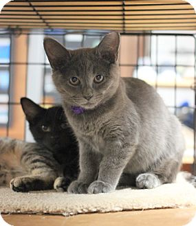 Domestic Shorthair Kitten for adoption in Carlisle, Pennsylvania - Harper