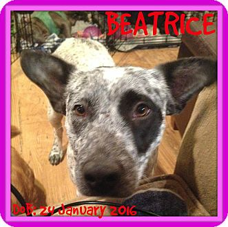 Australian Cattle Dog Mix Dog for adoption in Manchester, New Hampshire - BEATRICE