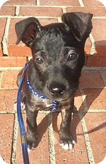 American Staffordshire Terrier/Labrador Retriever Mix Puppy for adoption in Los Angeles, California - Oxo