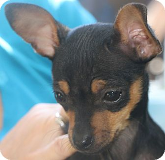 Chihuahua Mix Dog for adoption in Norwalk, Connecticut - Twinkle