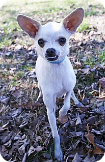 Chihuahua Mix Dog for adoption in Foster, Rhode Island - Pepe