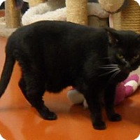 Domestic Shorthair Cat for adoption in Cocoa, Florida - Frankie (Cocoa Center)