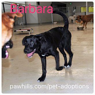 Labrador Retriever Mix Puppy for adoption in Agoura Hills, California - Barbara