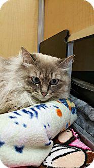 Domestic Longhair Cat for adoption in Chesapeake, Virginia - Hayze