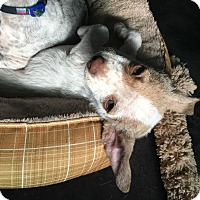 Terrier (Unknown Type, Small)/Chihuahua Mix Puppy for adoption in San Diego, California - Shea