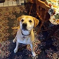 Labrador Retriever Mix Dog for adoption in San Francisco, California - Elliott