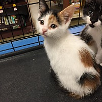 Adopt A Pet :: Junipurr Urgent - Piscataway, NJ
