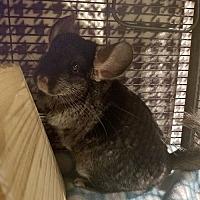 Adopt A Pet :: Pikachu - Lindenhurst, NY