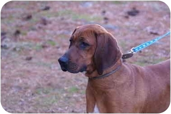 Redbone Coonhound Dog for adoption in Earleville, Maryland - Jamie
