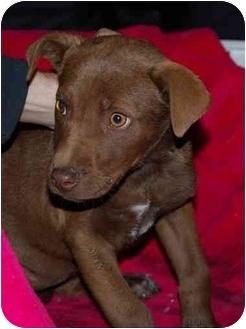Labrador Retriever Mix Puppy for adoption in Broomfield, Colorado - Fannie Porter