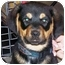 Photo 2 - Rottweiler Mix Puppy for adoption in West Los Angeles, California - Brass