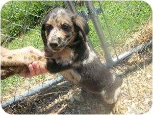 Australian Shepherd Mix Puppy for adoption in Lonedell, Missouri - Kinder-D