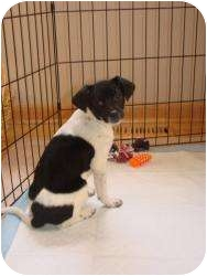 Rat Terrier/Dachshund Mix Puppy for adoption in Marlton, New Jersey - Woodstock  7 lbs.