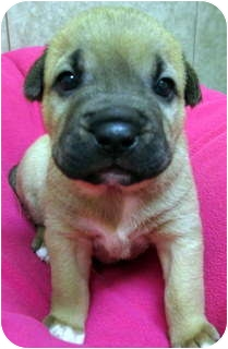 Shepherd (Unknown Type)/Hound (Unknown Type) Mix Puppy for adoption in Los Angeles, California - Nadia *VIDEO*