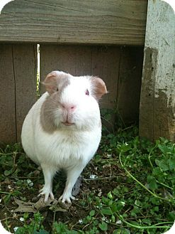 Guinea Pig for adoption in Franklin, Tennessee - Lizzy Pig