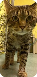 Domestic Shorthair Cat for adoption in Richboro, Pennsylvania - Ron Hextal