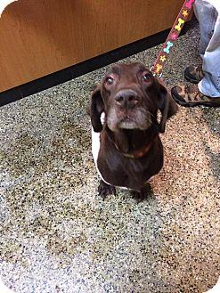 Labrador Retriever Dog for adoption in Oak Brook, Illinois - Chanel