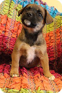 German Shepherd Dog/Schnauzer (Standard) Mix Puppy for adoption in Hamburg, Pennsylvania - Bumble