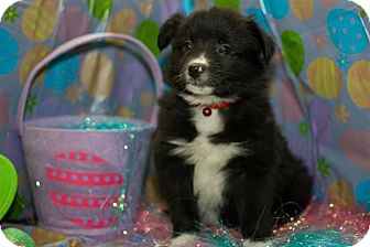 American Eskimo Dog/Border Collie Mix Puppy for adoption in Saskatoon, Saskatchewan - Brisk
