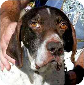 German Shorthaired Pointer Mix Dog for adoption in Berkeley, California - Axel