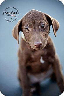 Terrier (Unknown Type, Medium)/Labrador Retriever Mix Puppy for adoption in La Crosse, Wisconsin - Brownie
