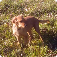 Adopt A Pet :: Miley - Courtesy Posting - New Canaan, CT