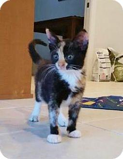 Domestic Shorthair Kitten for adoption in Riverview, Florida - Kiko