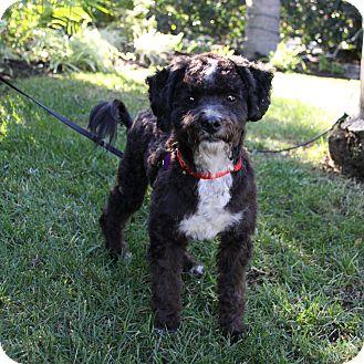 Poodle (Miniature) Mix Dog for adoption in Newport Beach, California - ARNIE