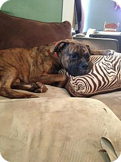 Boxer Dog for adoption in Upper Sandusky, Ohio - Iggy