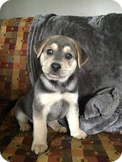 Husky/Retriever (Unknown Type) Mix Puppy for adoption in Albany, New York - Beans
