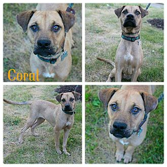 Boxer/Terrier (Unknown Type, Medium) Mix Dog for adoption in Garden City, Michigan - Coral